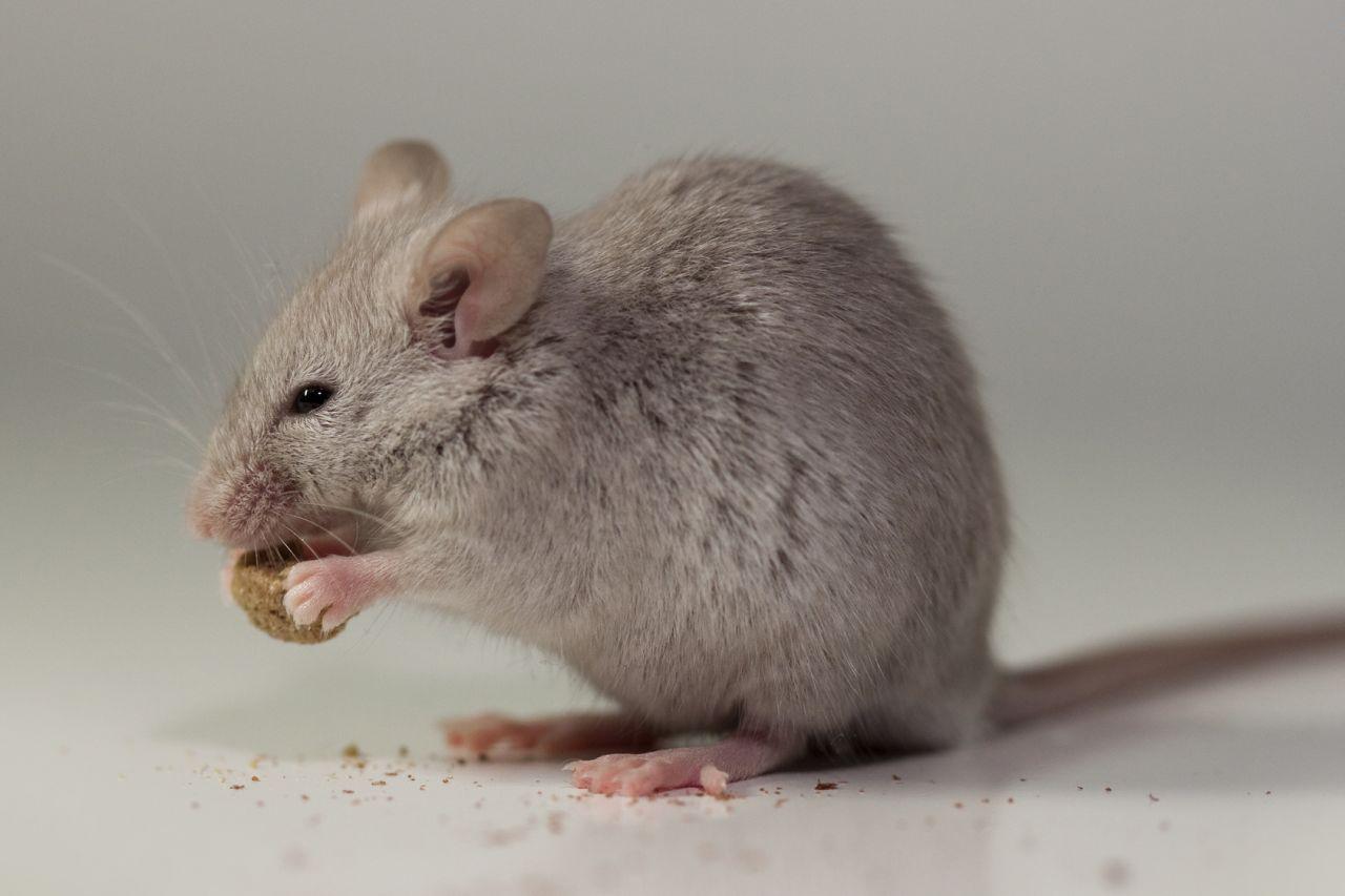 what-do-mice-eat-53aaa12f092f5.jpg