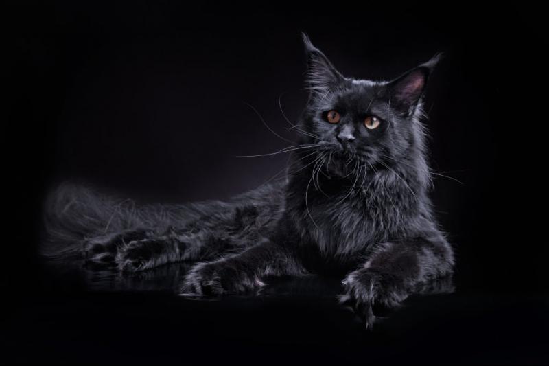 Мейн-кун черный.jpg
